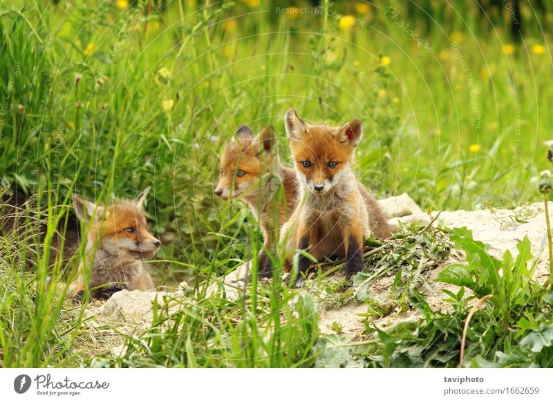 fox cubs near the den Beautiful Face Baby Nature Animal Sand Grass Dog Baby animal Listening Sit Small Natural Cute Wild Brown Green Red Loneliness Fox wildlife