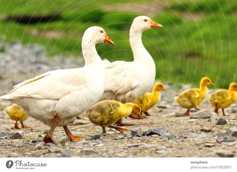 geese family Parenting Baby Family & Relations Adults Group Nature Landscape Animal Grass Meadow Bird Together Cute Brown Green White Colour wildlife fowl Beak