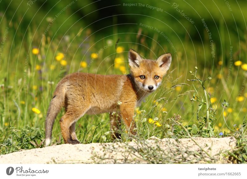 little fox near the den Face Baby Nature Animal Grass Forest Fur coat Dog Baby animal Small Natural Curiosity Cute Wild Brown Green Red Fox wildlife vulpes