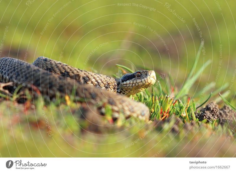 meadow viper basking in natural habitat Beautiful Nature Animal Meadow Snake Wild Brown Fear Dangerous Colour adder reptilian Romania rare rakosiensis poisonous