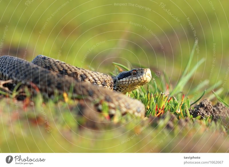 meadow viper basking in natural habitat Nature Beautiful Colour Animal Meadow Brown Wild Fear Europe Dangerous Ground Living thing European Poison Snake
