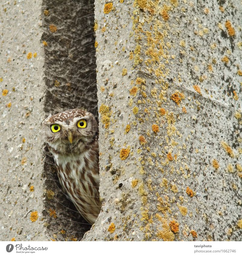 little owl hiding in cement pillar Nature Beautiful Animal Face Funny Small Brown Bird Wild Feather Vantage point Large Cute Curiosity Mysterious Beak
