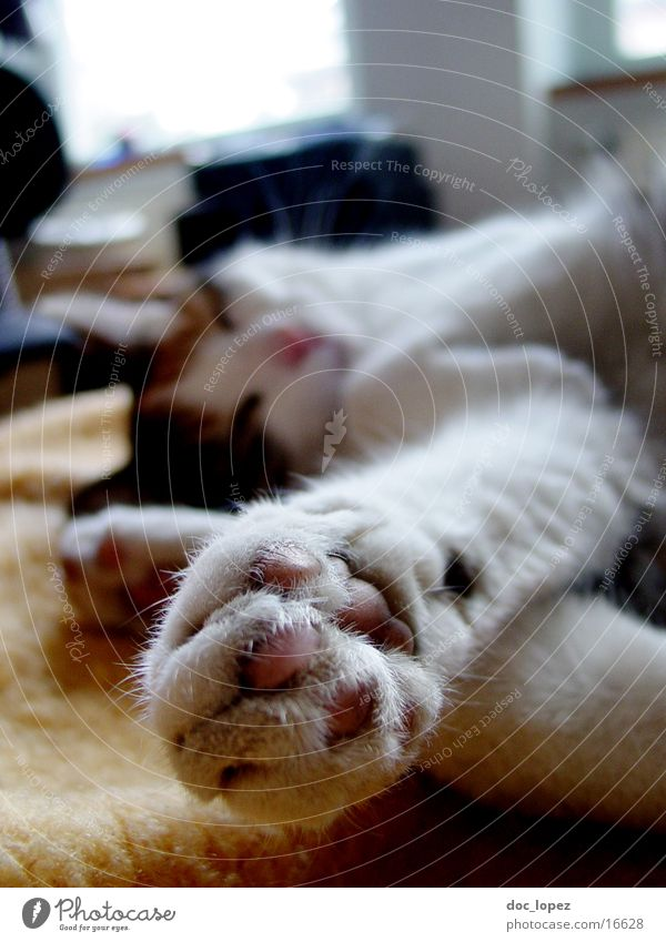 Felidae Cat Paw Depth of field Animal Sleep Cozy Pet Domestic cat Claw Traffic infrastructure Relaxation Blur