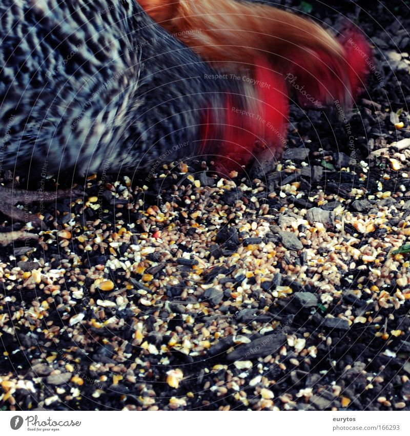 Chicken action Colour photo Exterior shot Close-up Day Shadow Contrast Motion blur Animal portrait Farm animal Barn fowl 2 Exotic Peck
