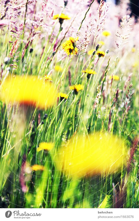 WHERE DO YOU ARE??? Nature Plant Summer Beautiful weather Flower Grass Leaf Blossom Wild plant Dandelion Garden Park Meadow Field Blossoming Fragrance Growth