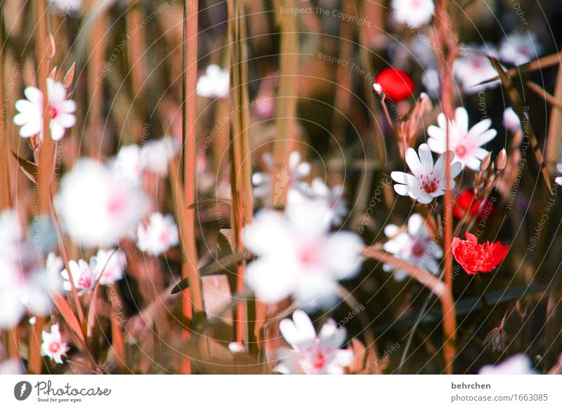 strawflower Nature Plant Summer Autumn Beautiful weather Flower Leaf Blossom chickweed Garden Park Meadow Field Blossoming Fragrance Faded To dry up Growth