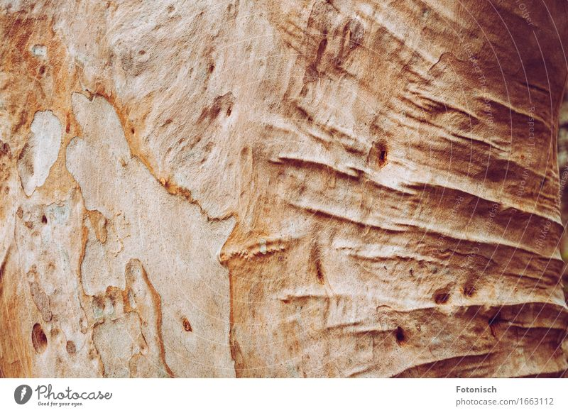 old eucalyptus tree with folds Environment Nature Tree Tree trunk Tree bark Eucalyptus tree Old Senior citizen Wood Wrinkles Folds Colour photo Exterior shot