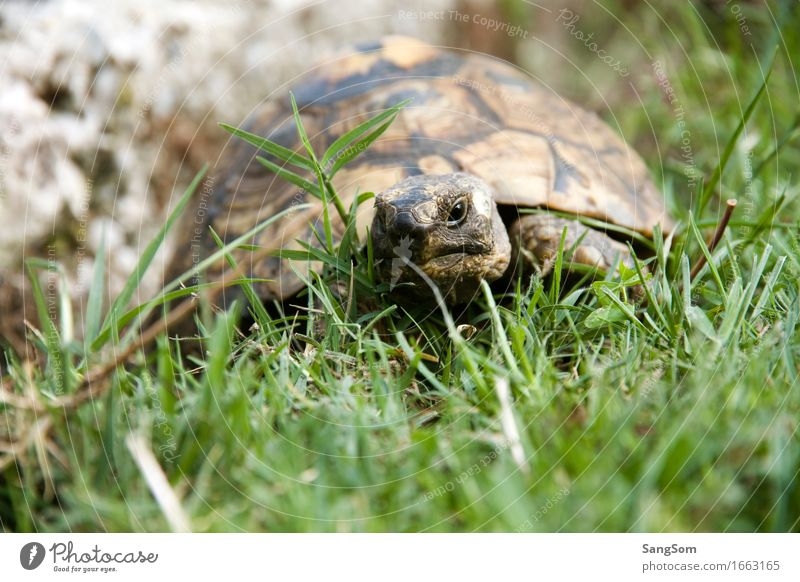 Schildi on the way Nature Earth Summer Beautiful weather Grass Garden Meadow Animal Pet Animal face Turtle Tortoise-shell 1 Old Brown Gray Green Black White