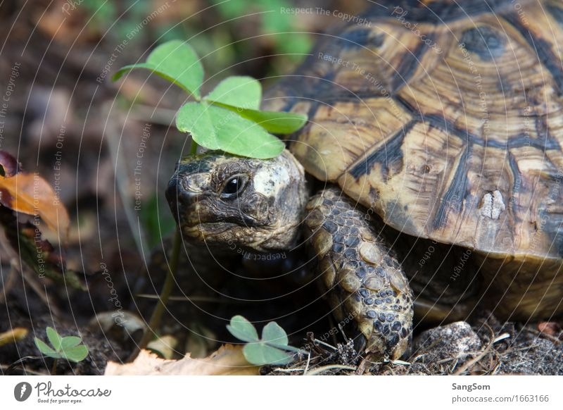 Schildi in luck Nature Earth Summer Plant Cloverleaf Garden Forest Animal Pet Turtle Tortoise-shell 1 Movement Old Brown Green Black Shell Happy Good luck charm