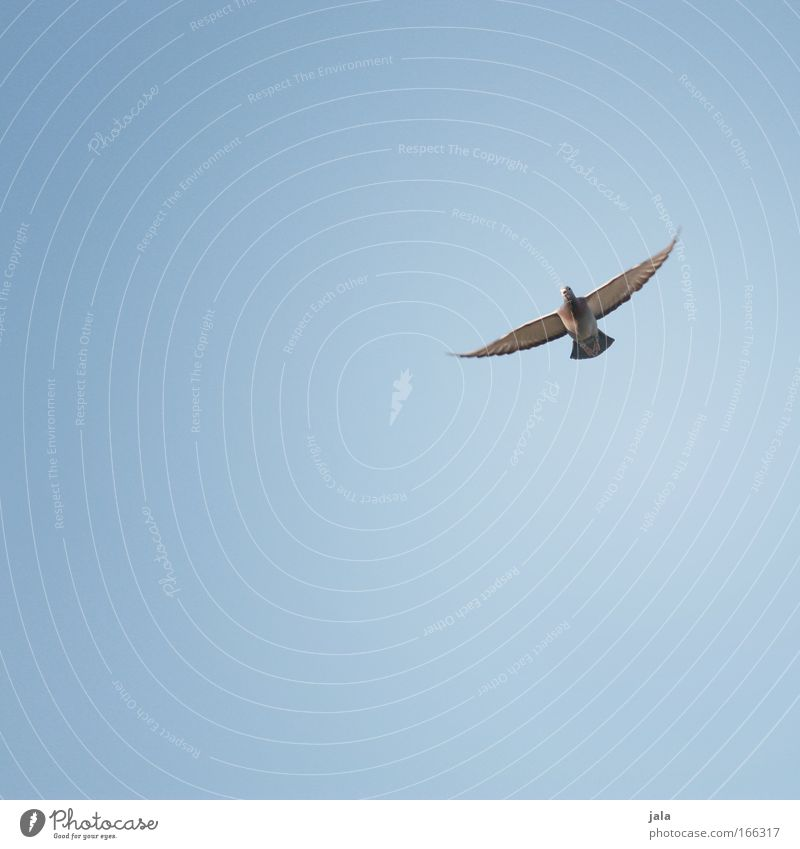 Sky Animal Happy Air Contentment Flying Free Hope Wing Symbols and metaphors Peace Beautiful weather Belief Pigeon