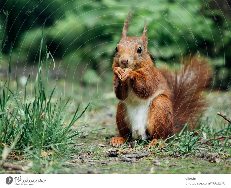 Sit down! Environment Nature Plant Animal Grass Bushes Park Forest Wild animal Squirrel Rodent 1 To feed Cuddly Small Natural Curiosity Cute Colour photo