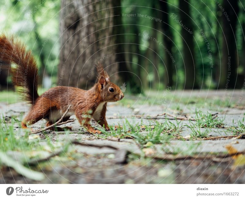 auf´m Jump Plant Tree Park Animal Wild animal Squirrel 1 Cuddly Small Curiosity Brown Nature Colour photo Exterior shot Deserted Copy Space top