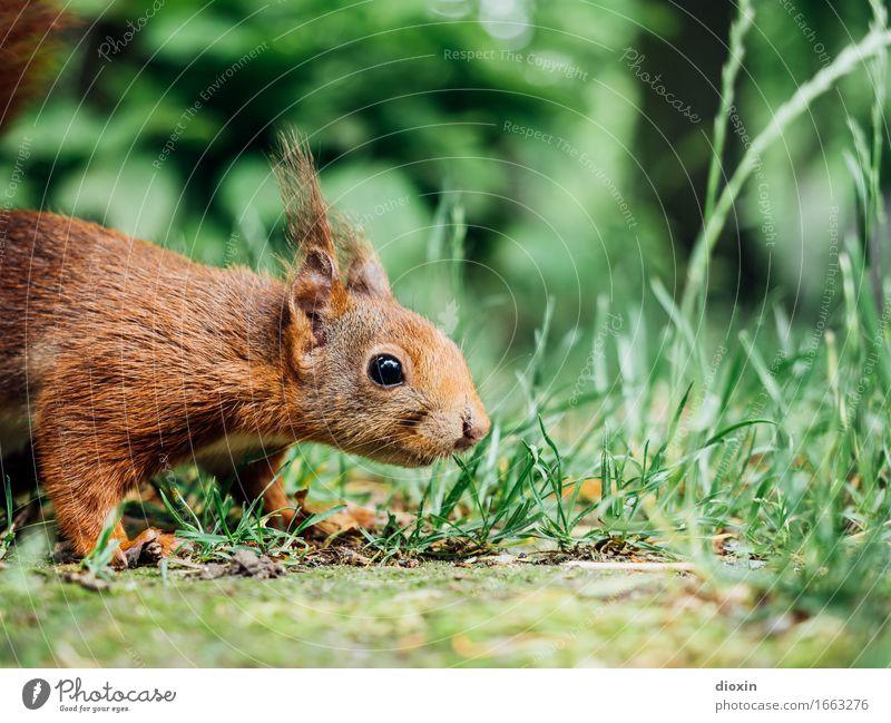 marieche Environment Nature Animal Grass Garden Park Forest Wild animal Squirrel 1 Cuddly Small Curiosity Cute Odor Colour photo Exterior shot Deserted