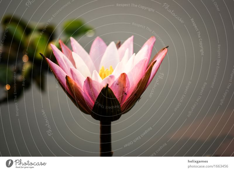 Lotus Flower - Water Lily Plant Blossom Pond Pink Backwaters Kerala India Blossom leave south india Water lily Colour photo Exterior shot Deserted Morning
