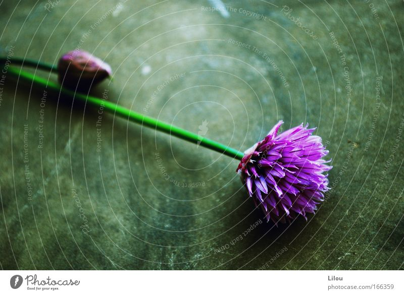 Nature Flower Green Plant Nutrition Blossom Stone Food Violet Herbs and spices Stalk Blade of grass Bud Chives