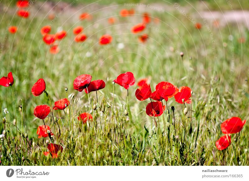 Nature Flower Green Plant Red Grass Spring Field Esthetic Growth Near Blossoming