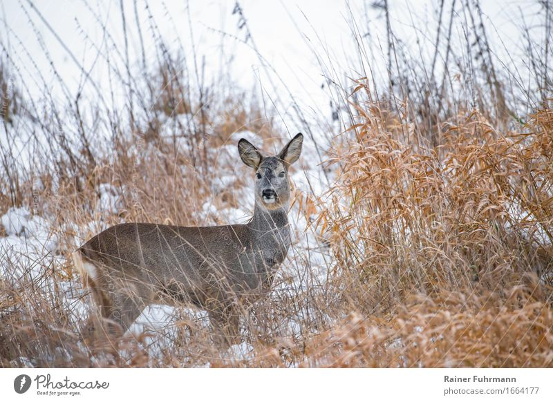 "a deer in wintery Brandenburg Environment Nature Winter Snow Meadow Field Animal ""Deer Ricke"" Love of animals Colour photo Exterior shot"