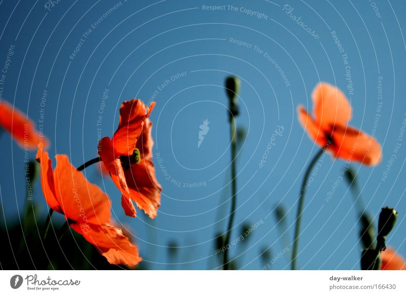 Nature Flower Green Blue Plant Red Meadow Spring Poppy Beautiful weather Cloudless sky Poppy blossom Wild plant Poppy field