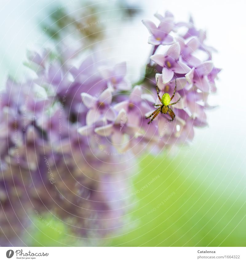 pumpkin spider Nature Plant Animal Blossom Lilac Garden Wild animal Spider 1 Observe Blossoming Fragrance Crawl Faded Beautiful Green Violet Pink Environment