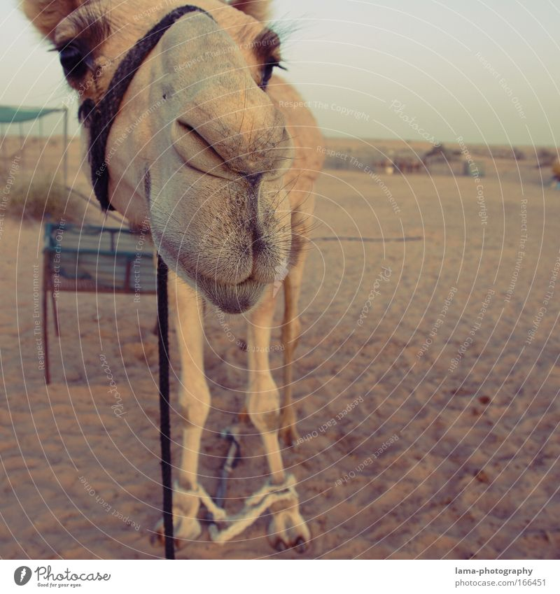 Animal Sand Wild animal Animal face Curiosity Desert Zoo Africa Smiling Asia Cuddly Near and Middle East Lomography Farm animal Ride Dubai