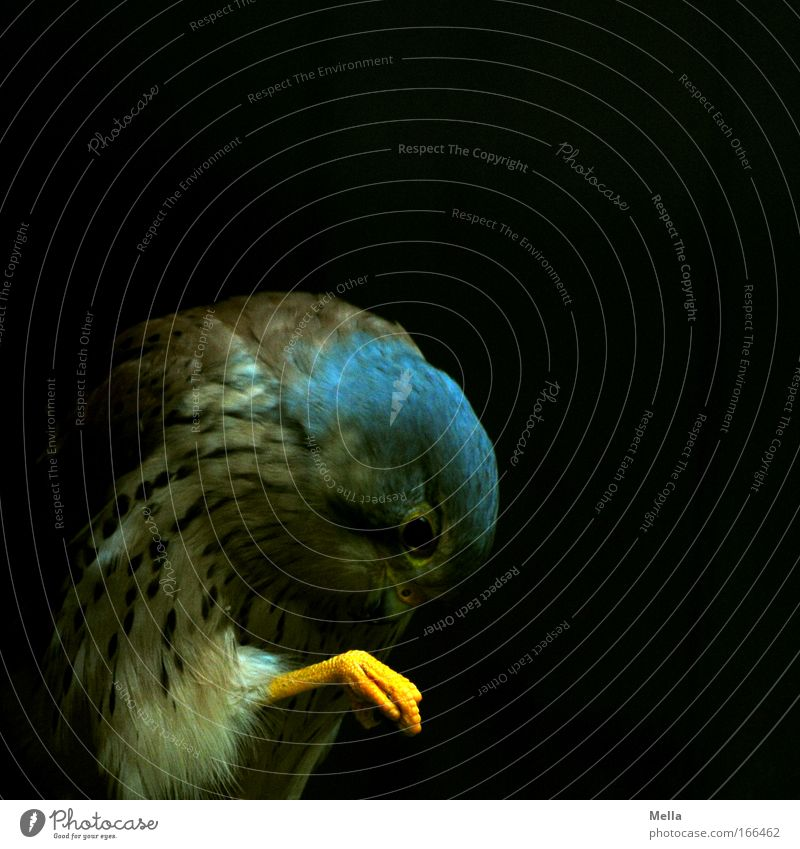 pedicure Animal Wild animal Bird Animal face Claw Kestrel Bird of prey 1 Cleaning Dark Cleanliness Purity Feather Plumed Yellow Colour photo Subdued colour