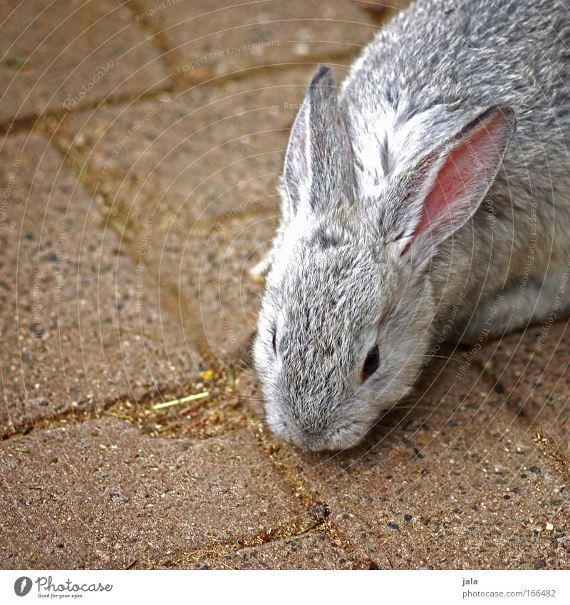 Mr. Rabbit Animal Pelt Zoo Petting zoo Hare & Rabbit & Bunny 1 Speed Beautiful Gray Colour photo Exterior shot Deserted Day Animal portrait Easter Bunny