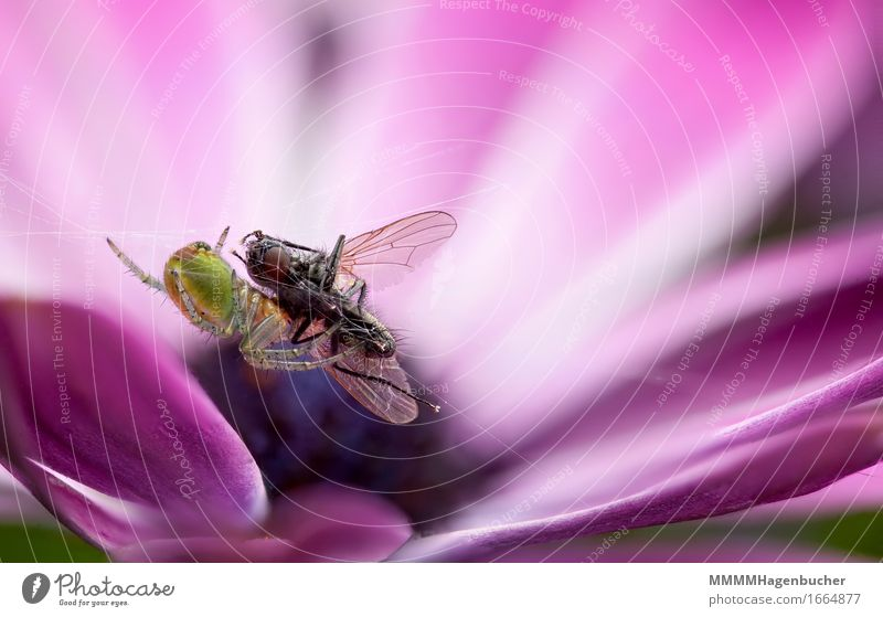 Nature Flower Animal Small Pink Fear Fly Violet Net Appetite To feed Marguerite Disgust Spider Spider's web Silk