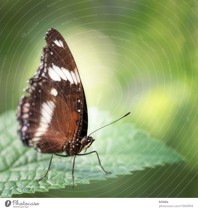 butterfly Environment Nature Plant Animal Wild animal Butterfly 1 Brown Green White Colour photo Exterior shot Copy Space right Day Back-light