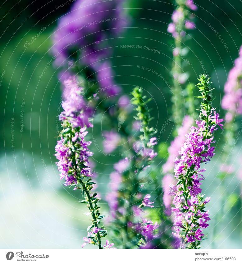 Loosestrife Nature Plant Flower Grass Blossom Pink Stalk Botany Blossom leave Biology Medicinal plant Purple Nectar