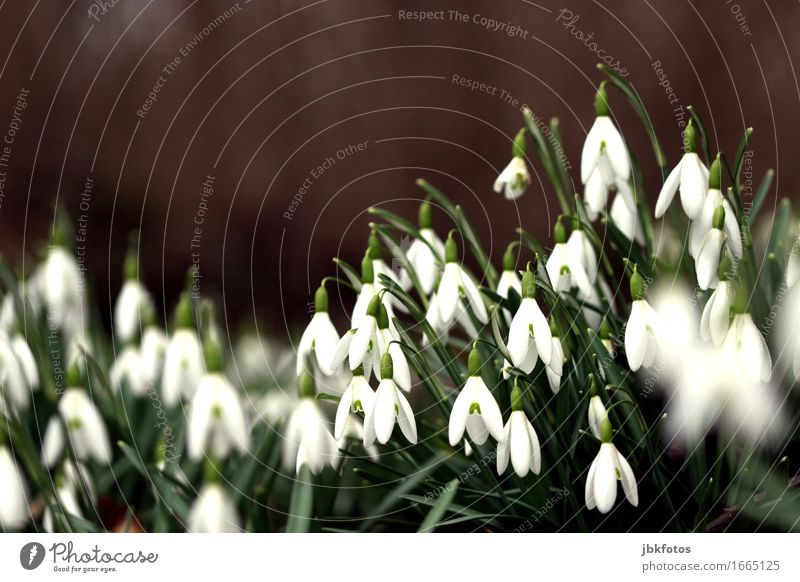 Soon it's time again... Environment Nature Plant Snow Foliage plant Snowdrop Garden Park Meadow Esthetic Winter Spring Spring fever Spring flower Onion
