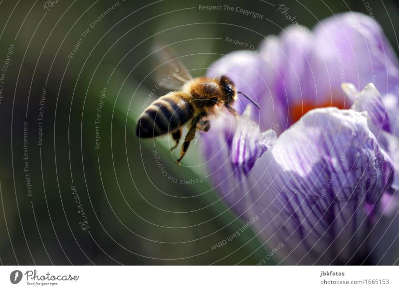 Nature Flower Animal Environment Blossom Spring Exceptional Food Flying Wild animal Nutrition Wing Violet Hip & trendy Concentrate Bee