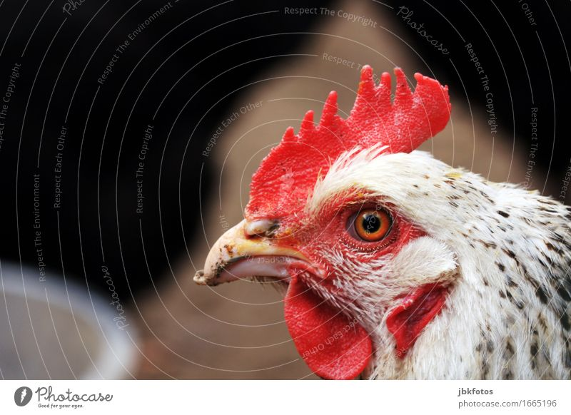 . Food Nutrition Leisure and hobbies Environment Nature Animal Farm animal Bird Animal face Wing Barn fowl 1 Communicate Crest Beak Eyes Feather Red
