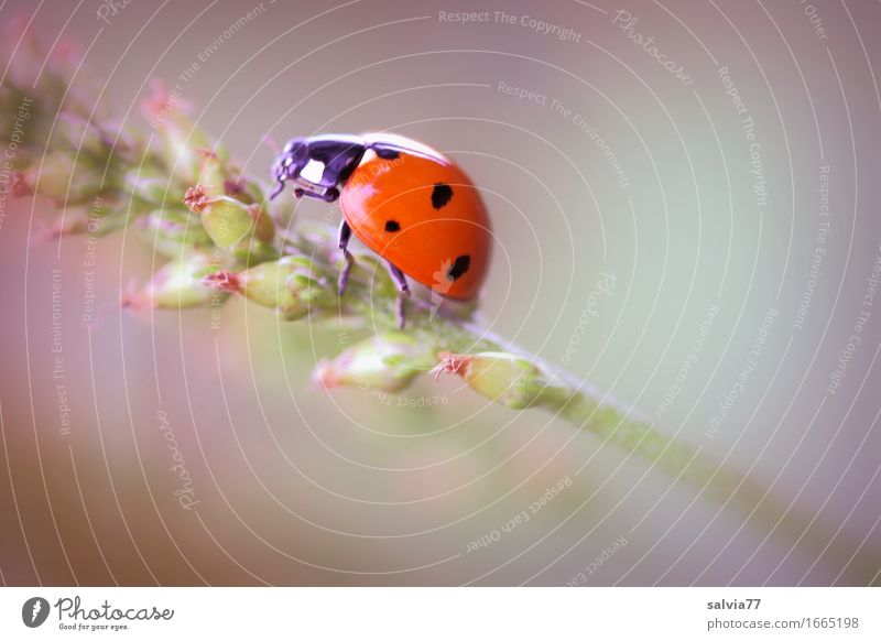 lucky beetle Nature Plant Animal Spring Summer Blossom Foliage plant Wild animal Beetle Seven-spot ladybird Ladybird Insect 1 Crawl Esthetic Happy Positive
