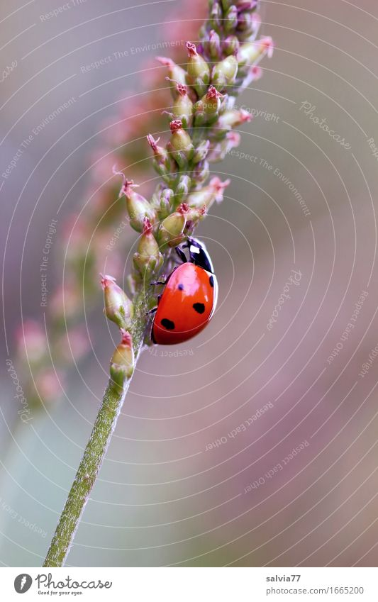 upward trend Environment Nature Plant Animal Spring Blossom Meadow Beetle Ladybird Seven-spot ladybird Insect 1 Crawl Cute Above Positive Brown Green Orange