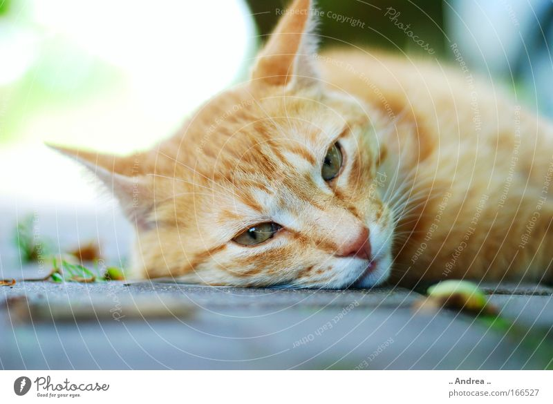 Red Tiger 18 Animal Pet Cat Animal face Pelt Stone Lie Sleep Cuddly Broken Love of animals hangover mietzi mackerelled roomier Colour photo Close-up Day Blur