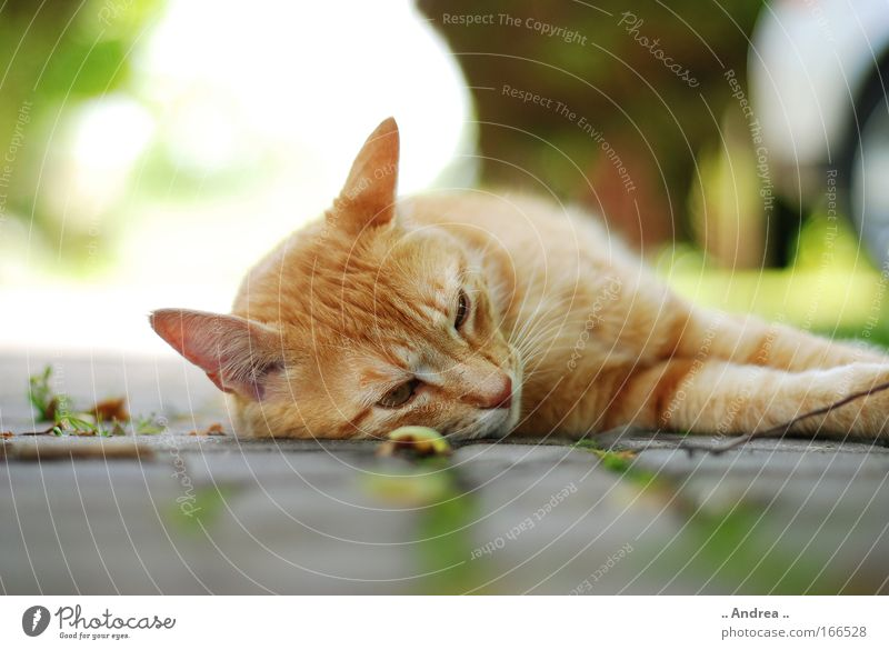 Red Tiger 19 Animal Pet Cat Animal face Paw Stone Lie Sleep Cuddly Cute mackerelled roomier mietzi hangover Colour photo Close-up Day Blur
