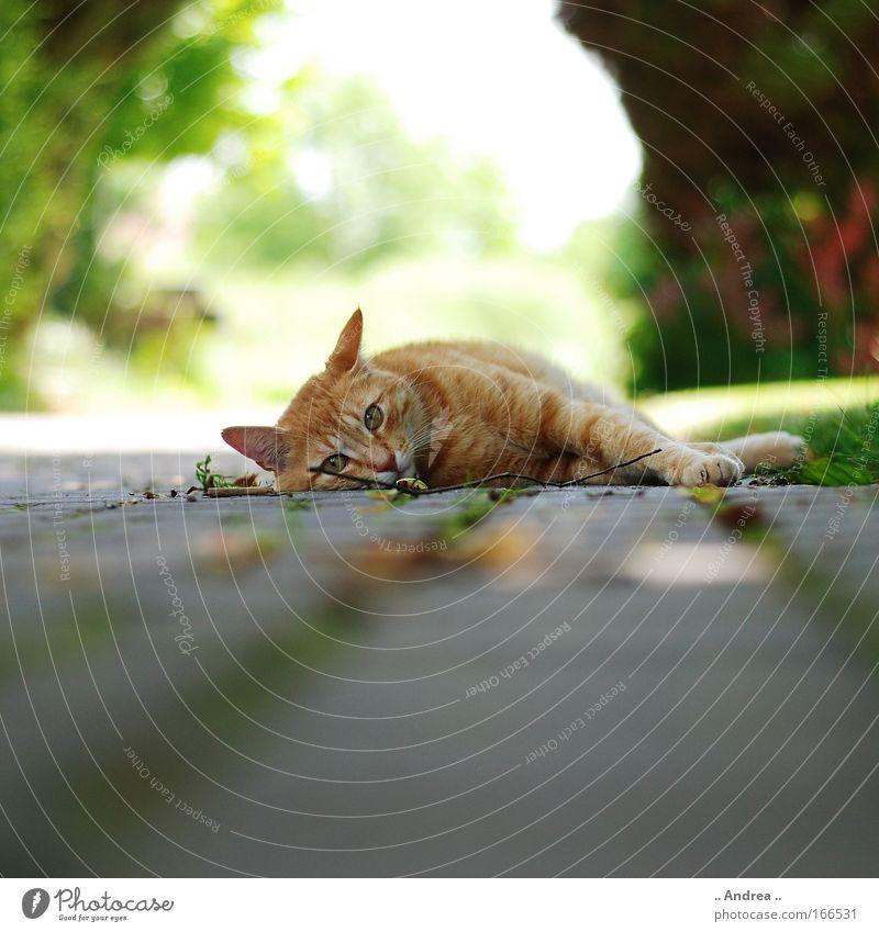 Cat Beautiful Red Animal Lie Fresh Sleep Animal face Pet Cuddly Free-living Prowl Street cat