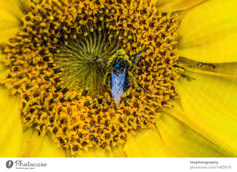 Bumblebee in a sunflower Nature Plant Flower Blossom Foliage plant Agricultural crop Wild plant Pot plant Exotic Garden Park Meadow Forest Flower meadow