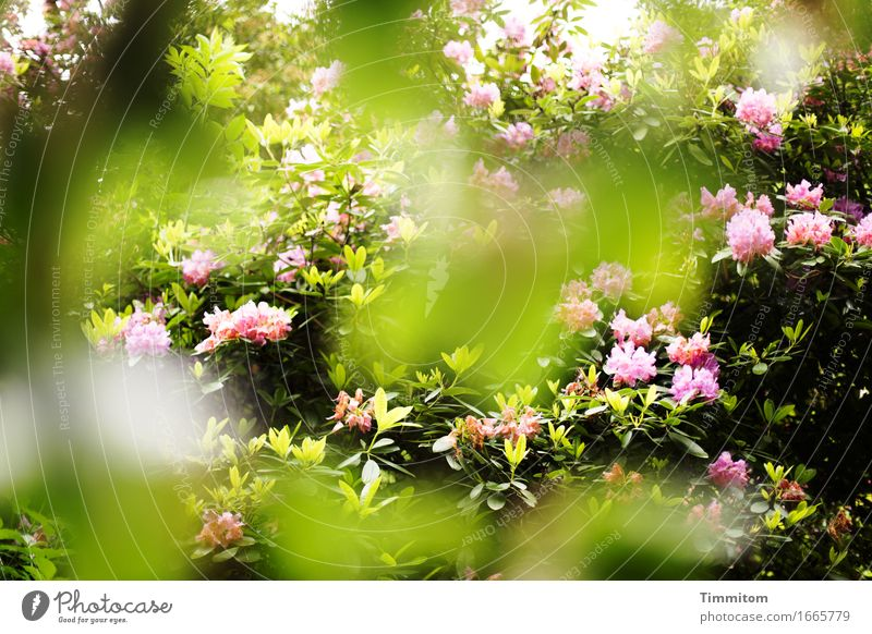 Nature Plant Green Environment Spring Natural Pink Park Esthetic Blossoming Rhododendrom