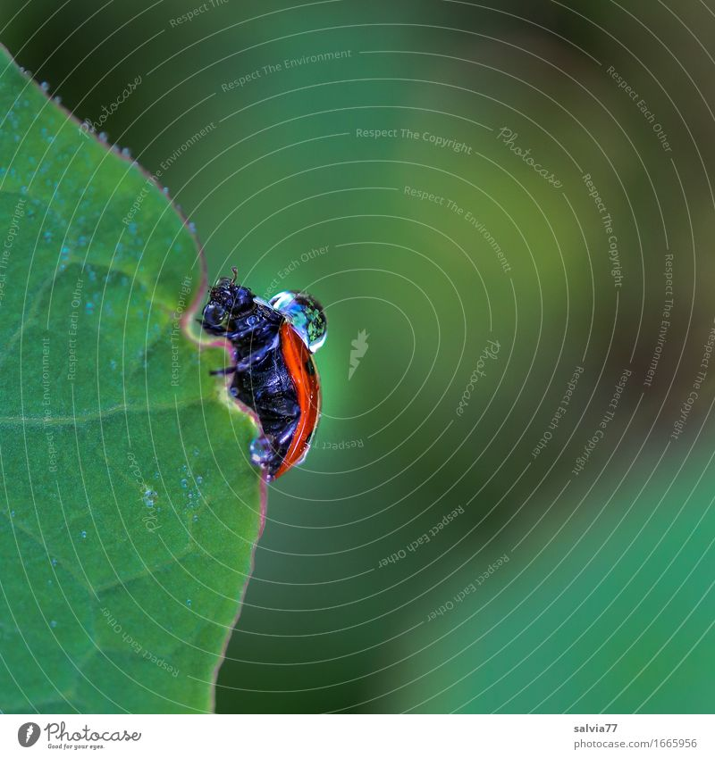 dripping wet Nature Water Drops of water Bad weather Rain Plant Leaf Beetle Ladybird Insect Crawl Wet Green Orange Frustration Lanes & trails Dew Colour photo