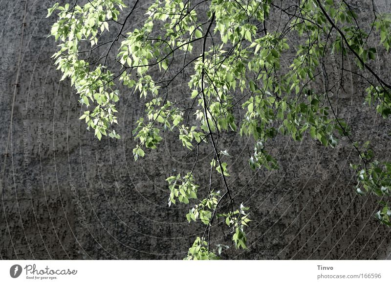 Nature Tree Green Calm Leaf Wall (building) Spring Gray Wall (barrier) Power Fresh Hope Breathe Memory Loyalty New start