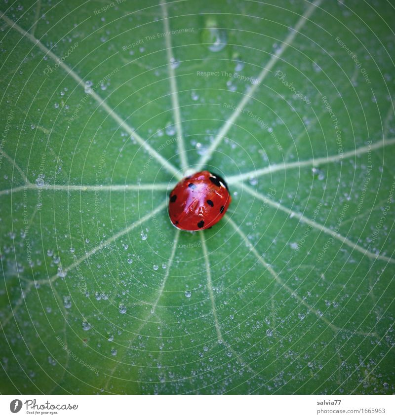 centered Environment Nature Plant Animal Leaf Nasturtium leaf Garden Wild animal Beetle Ladybird Seven-spot ladybird Insect 1 Crawl Esthetic Small Green Orange