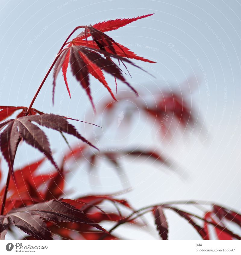 Japanese Maple Tree III Colour photo Exterior shot Day Shallow depth of field Plant Sky Bushes Leaf Twigs and branches Maple tree Maple leaf Blue Red