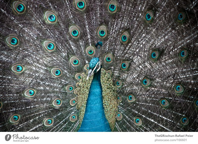 wow peacock Colour photo Exterior shot Structures and shapes Copy Space top Day Shadow Contrast Looking away Nature Animal Zoo 1 Esthetic Exceptional