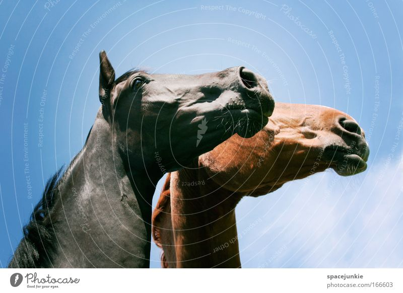 Looking to the future together Colour photo Exterior shot Ride Animal Horse Animal face 2 Pair of animals Observe Touch Dream Elegant Glittering Happy Infinity