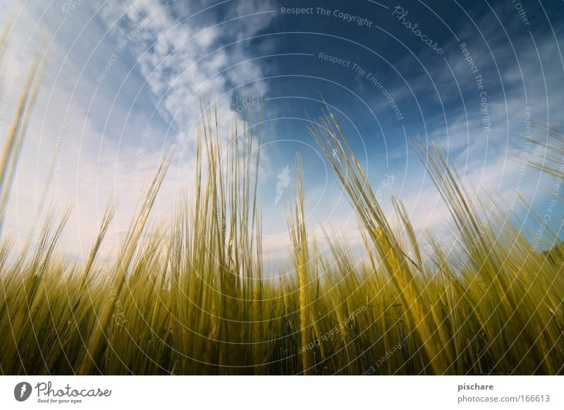 Corny vs. MilkyWay Nature Landscape Sky Clouds Summer Beautiful weather Agricultural crop Grain Field Growth Free Natural Clean Blue Yellow Gold