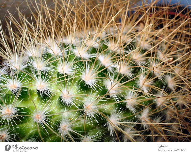 prickly Cactus Green Thorn pointy