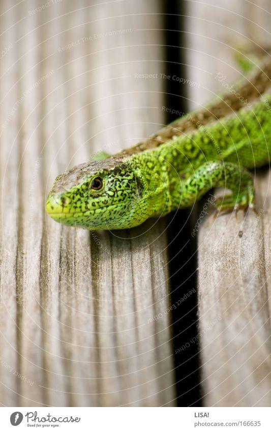 spunks' lizard Colour photo Exterior shot Close-up Day Contrast Sunlight Blur Shallow depth of field Worm's-eye view Animal portrait Looking Nature