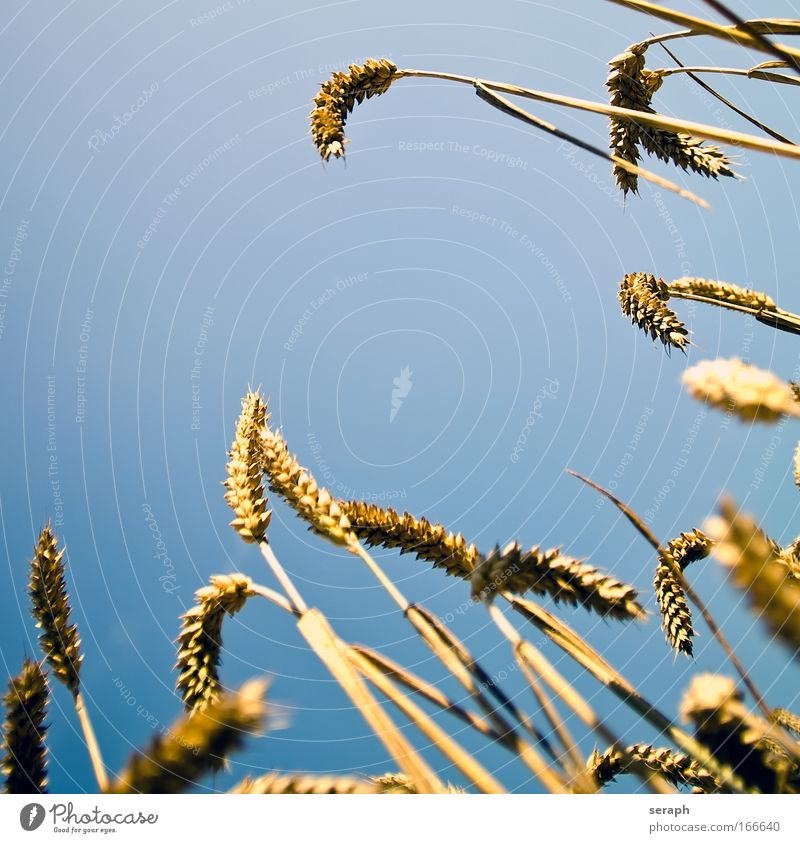 Summer Environment Landscape Grass Field Soft Idyll Blossoming Grain Agriculture Feed Rye Macro (Extreme close-up) Hayfield