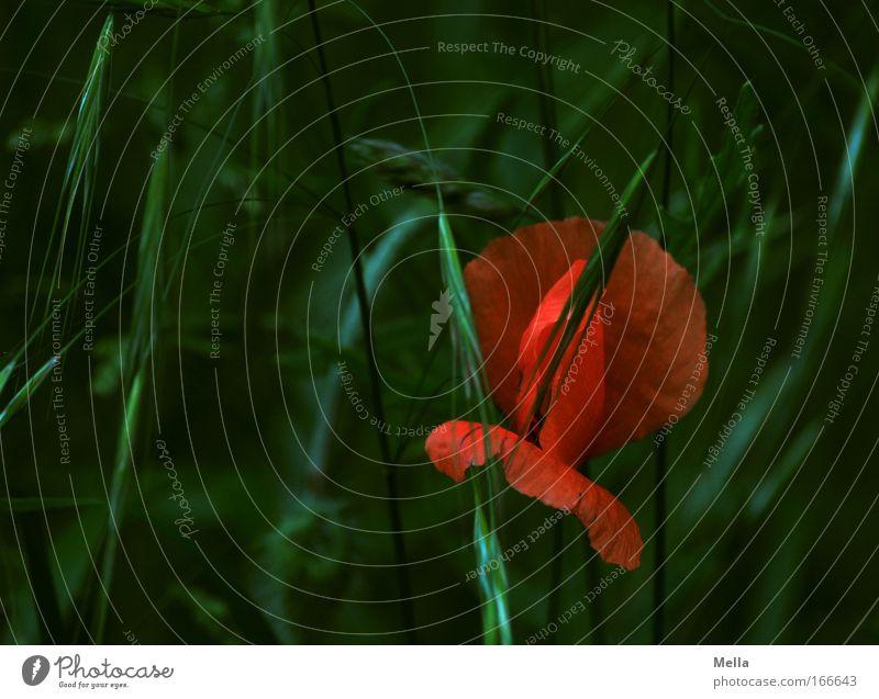 Nature Beautiful Flower Green Plant Red Summer Dark Meadow Blossom Grass Spring Field Environment Idyll Fragrance